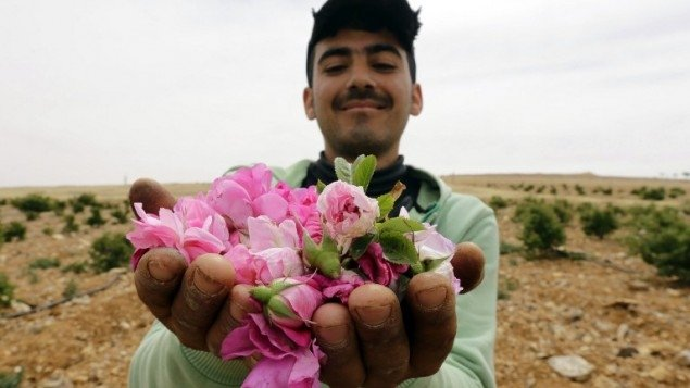 Syrian Damask rose used in fragrances in danger due to repercussions of war