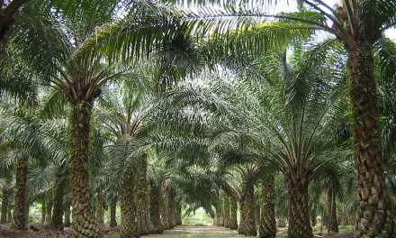 Price of palm oil plunges as demand drops and supply soars